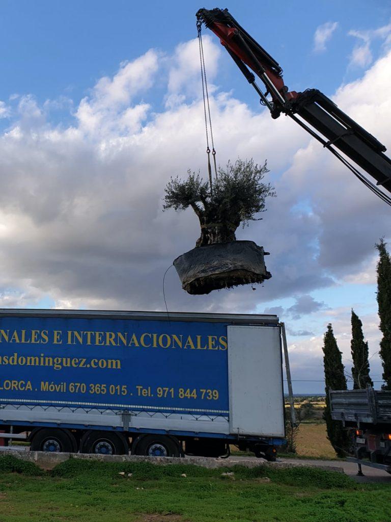 Transporte de olivo
